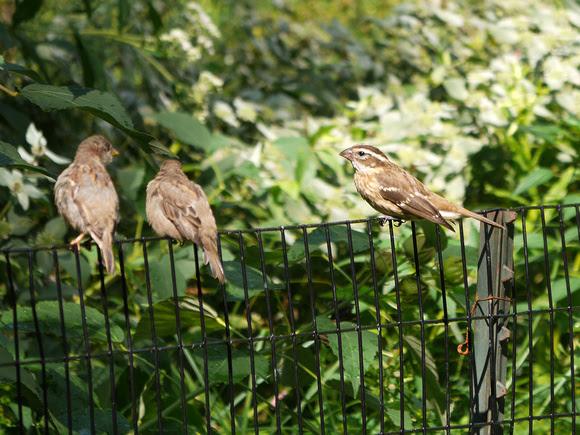 Ed Gaillard: birds &emdash; Rose-Breasted Grosbeak and House Sparrows, Central Park