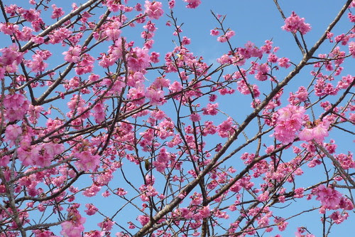 Cherry Blossoms Blooming in Okinawa by Okinawa Soba