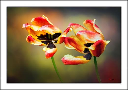 001 Tulip