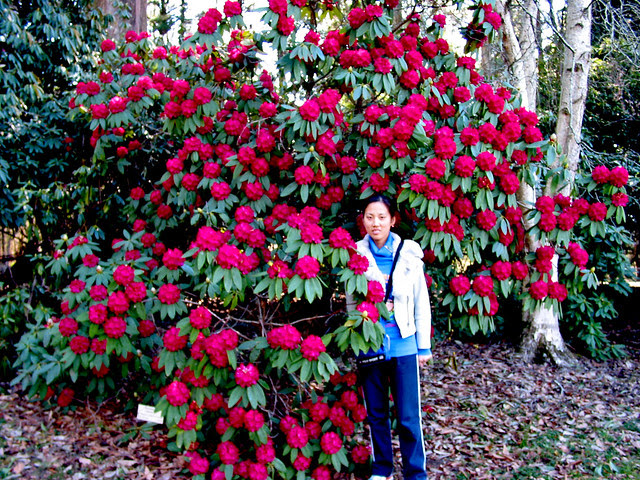 Rhododendrons 39