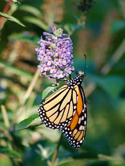 Monarchs in Central Park
