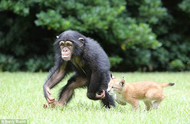 Playful: Varli loves to ape around with Sutra his wildcat pal