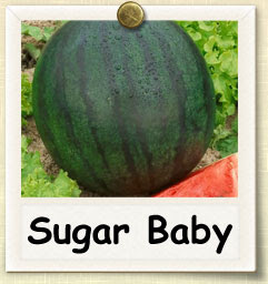 How To Grow Sugar Baby Watermelon Guide To Growing Sugar Baby Watermelon