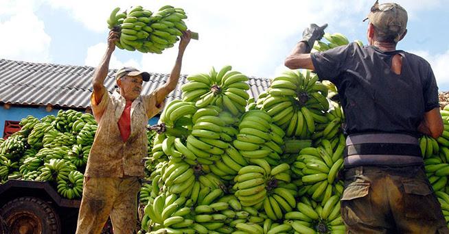 Los trabajadores de la Empresa Agropecuaria La Cuba, de la provincia de Ciego de Ávila, cumplirán en los próximos días con su plan de entrega de dos mil toneladas de plátano fruta de la variedad Gran Enano, destinadas a la producción de compotas para los niños.