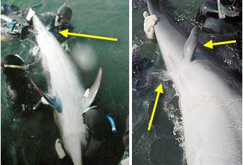 [Figure2.2.2 (atavistic dolphin flippers)]