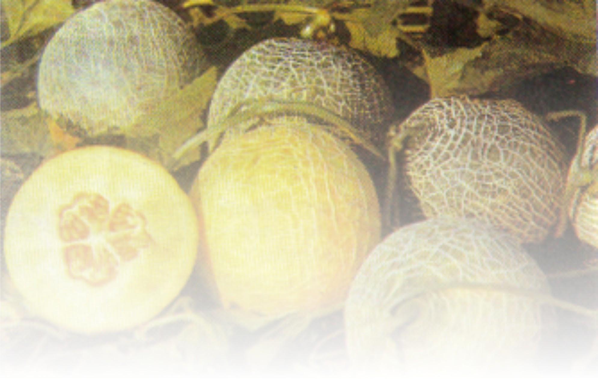 ARTIKEL TENTANG Agribisnis Melon