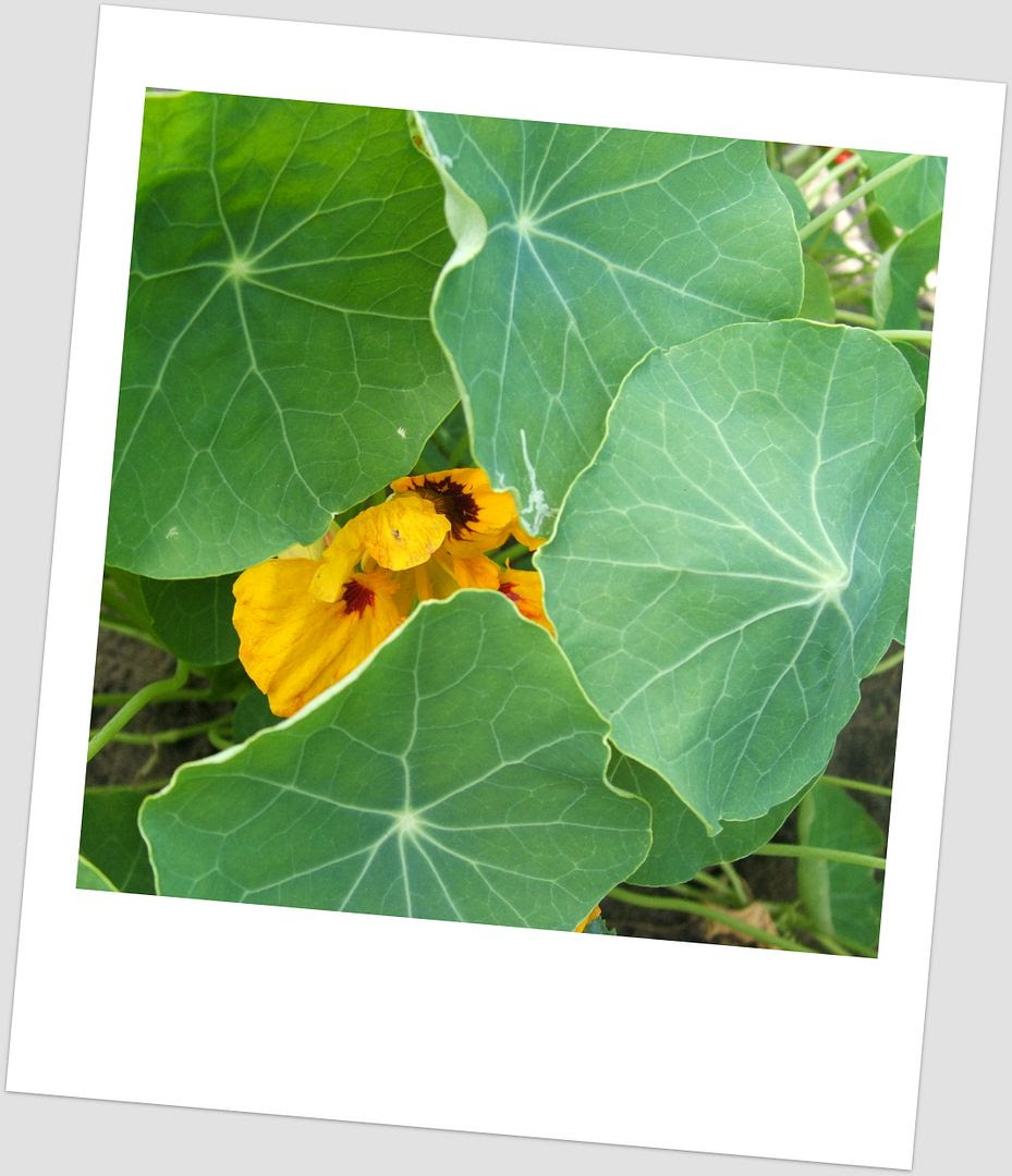 Nasturtiums by Angie Ouellette-Tower for godsgrowinggarden.com photo 022_zps79b13a22.jpg
