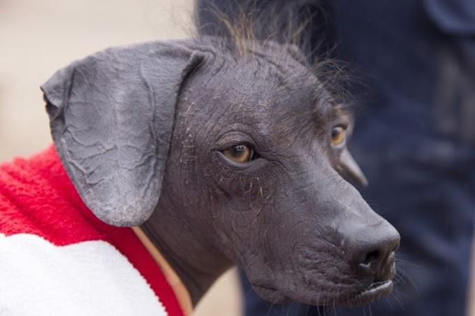 La apasionante historia de un perrito calvo que se convirtió en patrimonio cultural de su país