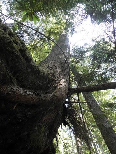 tree on trail of zig zag falls
