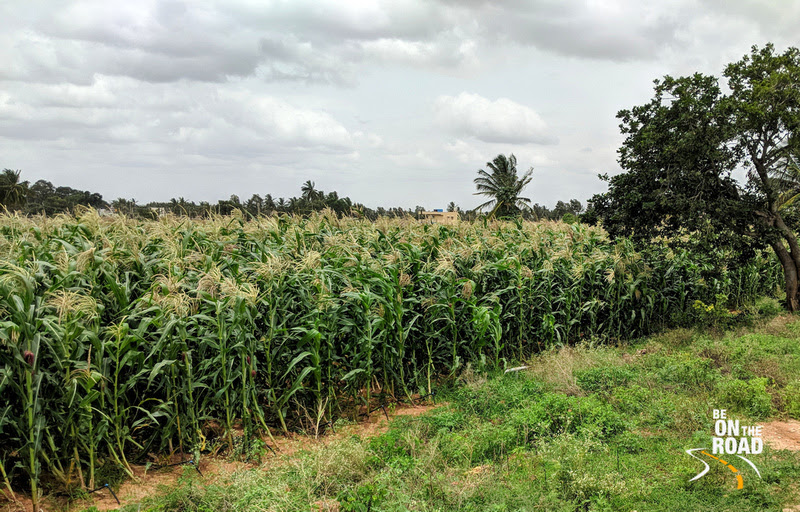 Ragi fields at Rural Chikkaballapur