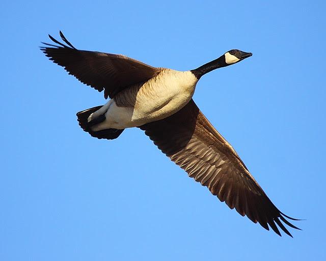 IMG_9781 Canada Goose, Monte Vista National Wildlife Refuge