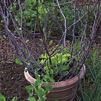 μαρούλι φυτεύεται στο κέντρο της γλάστρας και στη συνέχεια να γεμίσει με αμπέλια γλυκομπίζελο