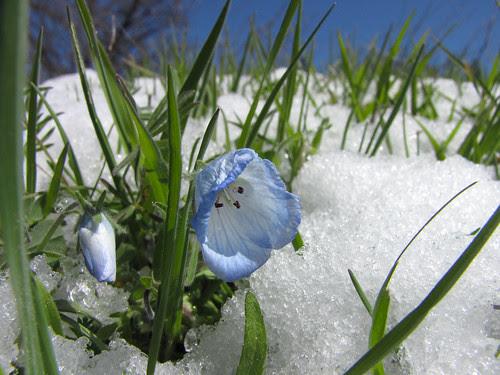 baby blue eyes in snow