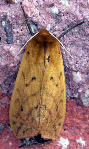 Isabella Tiger Moth, Pyrrharctia isabella, adu...