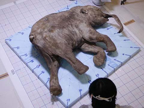 voi ma mút, Nga, nhà khoa học, dính máu, cổ đại, sinh vật