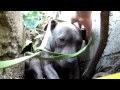 Mengharukan, Anjing Pitbull Yang Mengalami Penganiayaan Diselamatkan dari Sebuah Parit