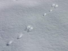 brush rabbit tracks