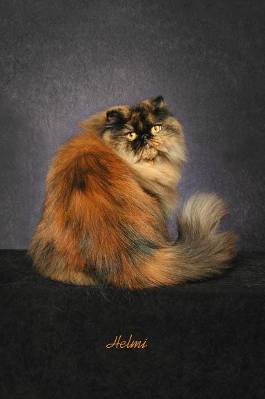 tortoiseshell Persian cat Princess