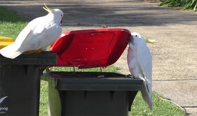 Австралийские какаду учат друг друга открывать мусорные баки