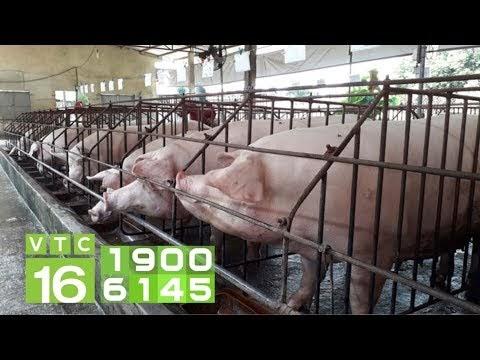 Thiết kế chuồng chăn nuôi lợn không xả thải | VTC16