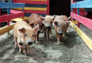 Athletic pigs ham it up at Olympics