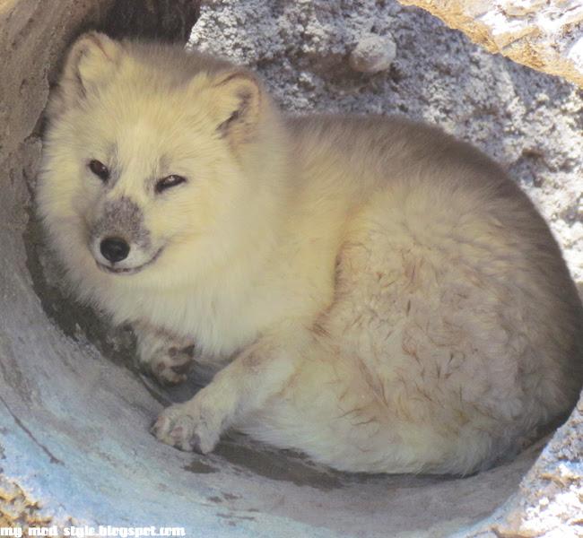 Denver Zoo Snow Fox