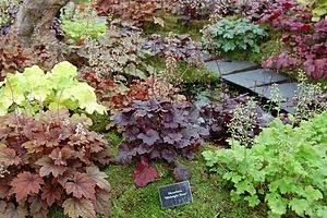 Heuchera cultivars at the BBC Gardeners' World...