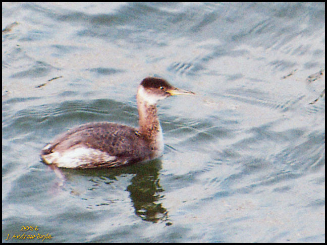 Red-throated Grebe