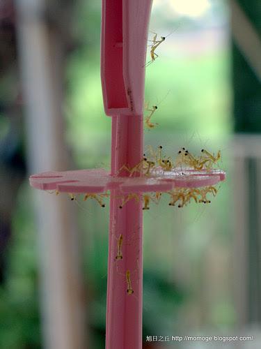 剛孵化的螳螂