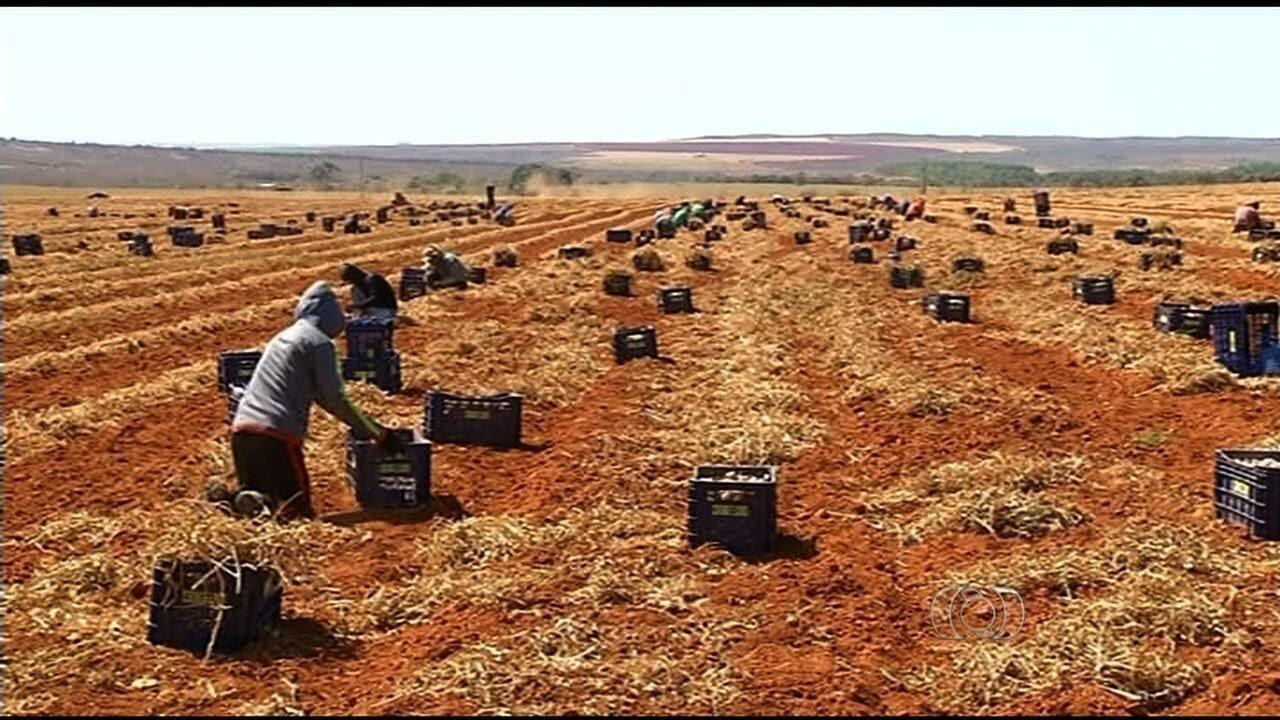 Resultado de imagem para Colheita do alho brasileiro