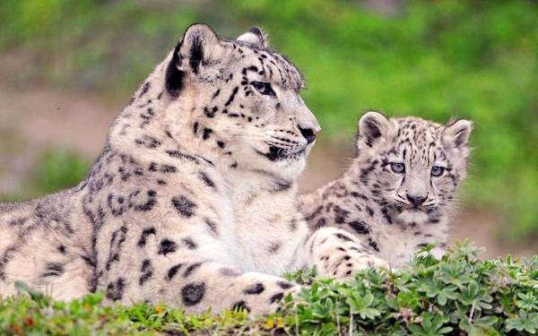 Снежный барс, снежный леопард (Uncia uncia),  фото хищники фотография