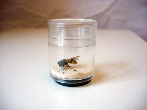 Biene im Vitrinchen