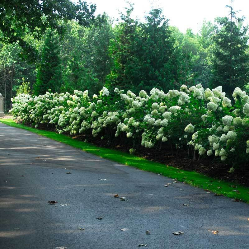 Limelight Panicle Hydrangea Great Garden Plants