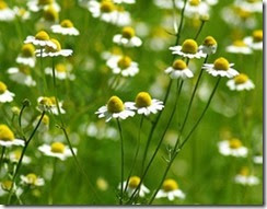 Hạt giống hoa cúc Đức (2)