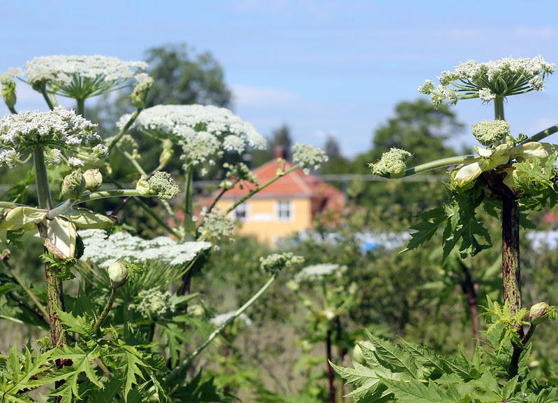 The Fight Against The Giant Hogweed
