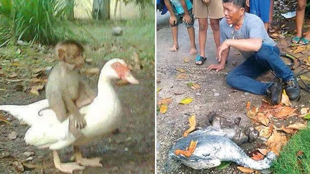 Duck Got Electrocuted While Trying To Save 'Best Friend' Monkey's Life, Sadly Both Died