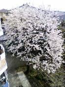 窓から見える桜
