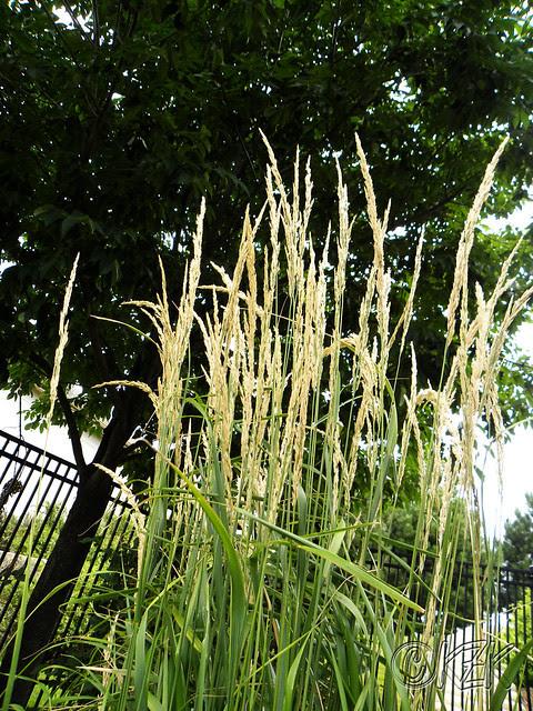 DSCN1957 Fountain Grass