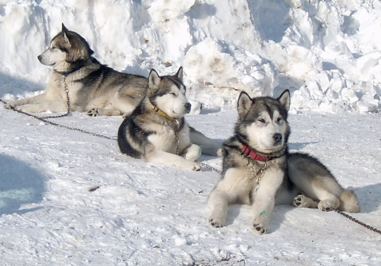 Alaskan Malamute  Razas perros  Mascotas