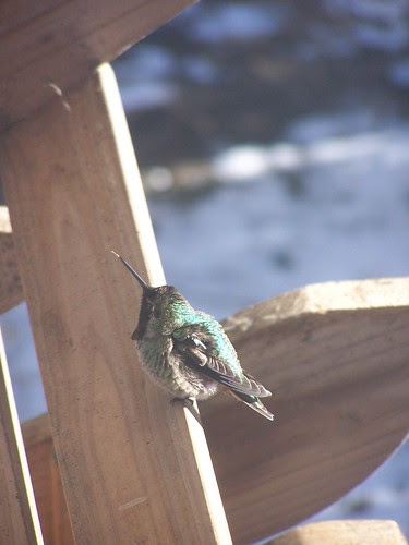 Chuck the hummingbird