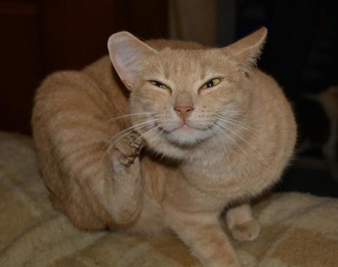 ¿Cómo detectar la alergia a la picadura de pulgas en gatos?