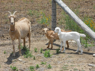 New 2012 Goat Does PJ and Sandy