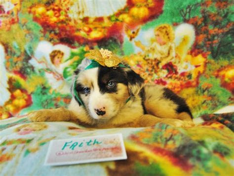 shamrock rose aussies update  pictures added