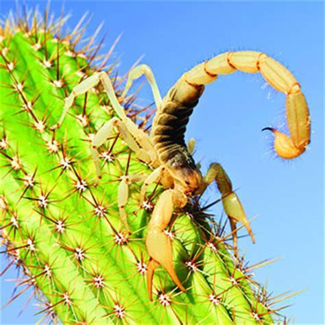 Giant Desert Hairy Scorpion   Catseye Pest Control