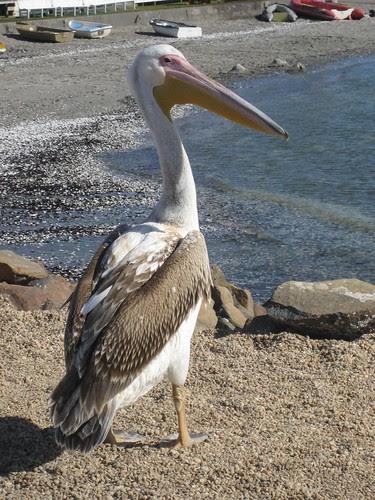 WB pelican
