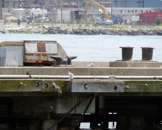 Ed Gaillard: birds &emdash; Common Terns, Yankee Pier, Governor's Island