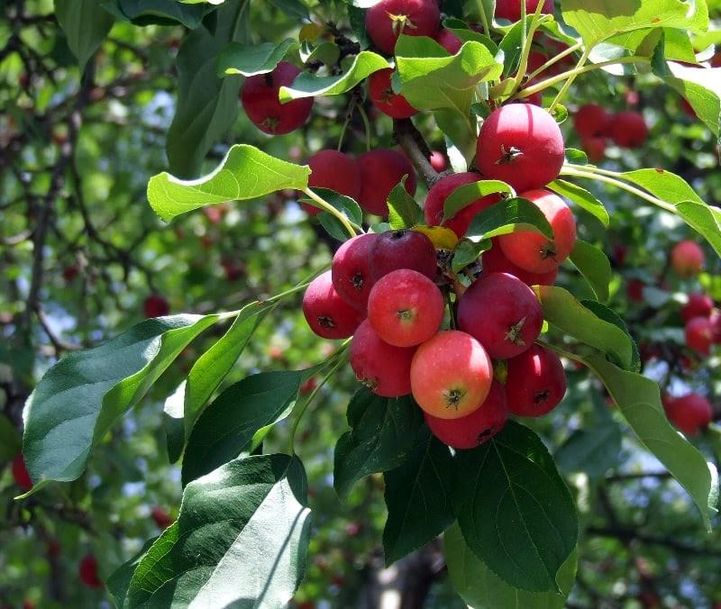 Los 10 árboles Frutales Más Resistentes Eljardinonlinees