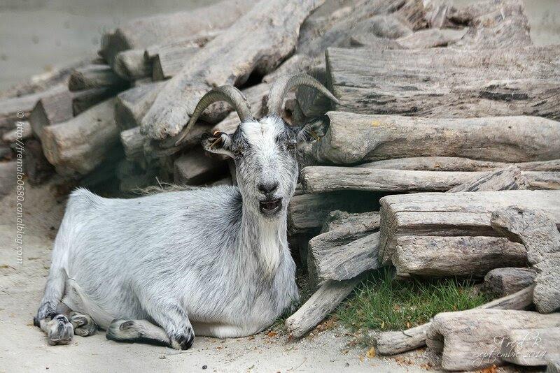 Chèvre de Lorraine ♂