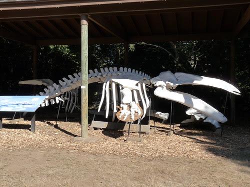 Whale Skeleton by Jack Crossen