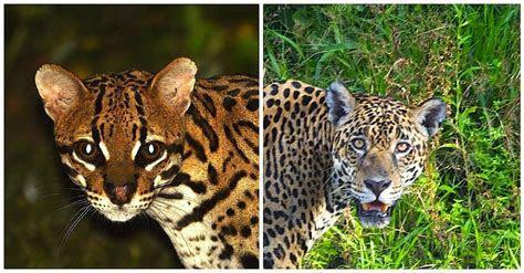 Ocelot vs Jaguar   Nature   My View